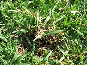 Cesped natural tepes de Zoysia primavera