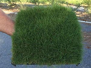 Zoysia tenuifolia muestra de cesped natural en tepes