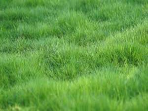 Zoysia tenuifolia vista en detalle cesped